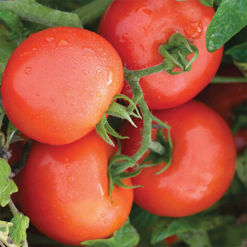 Defiant Hybrid Tomato