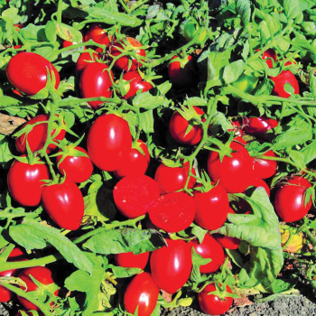 Early Resilience Hybrid Tomato