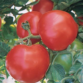 Fantom Hybrid Tomato