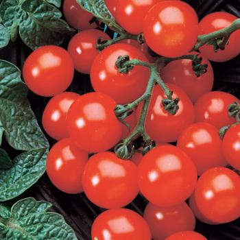 Husky Cherry Red Hybrid Tomato