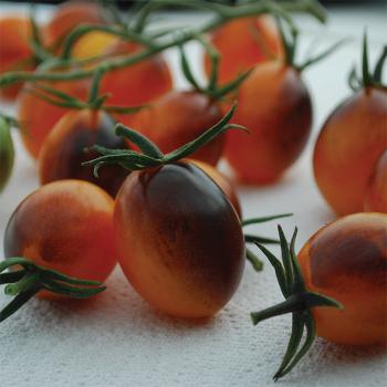 Indigo Kumquat Hybrid Tomato