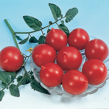 Jolly Hybrid Tomato
