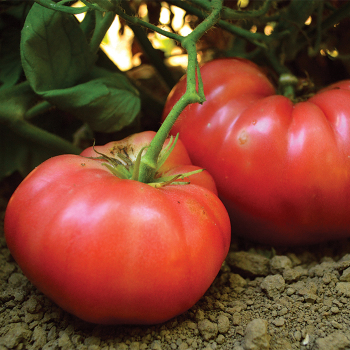 Kolb Tomato