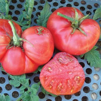 New Big Dwarf Tomato