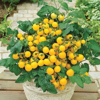 Patio Choice Yellow Hybrid Tomato