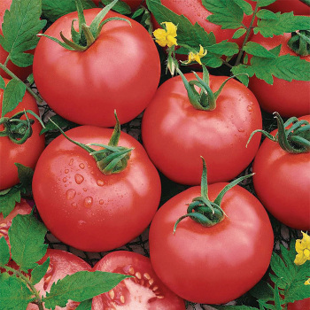 Brandymaster Pink Hybrid Tomato
