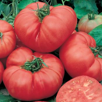 Ponderosa Pink Tomato