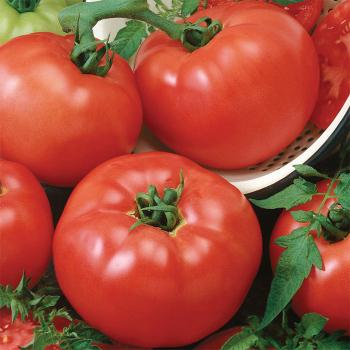 Brandymaster Red Hybrid Tomato