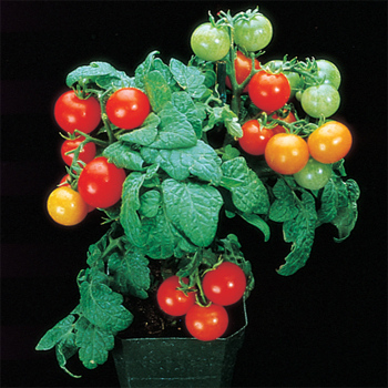 Red Robin Tomato