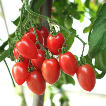 Sugary Hybrid Tomato