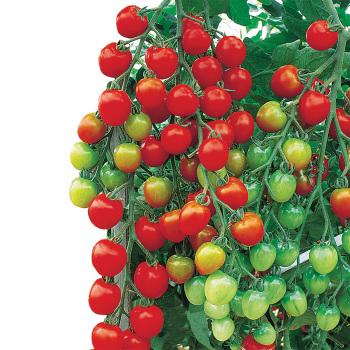 Suncherry Extra Sweet Hybrid Tomato