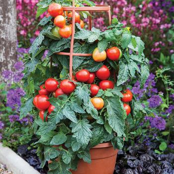 Summerlast Hybrid Tomato