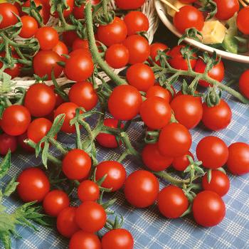 Sweet Snax Hybrid Tomato