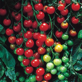 Supersweet 100 Hybrid Tomato