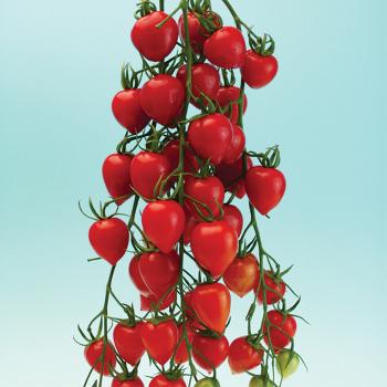 Tomatoberry Garden Hybrid Tomato