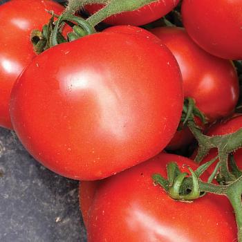 Tasti-Lee II Hybrid Tomato