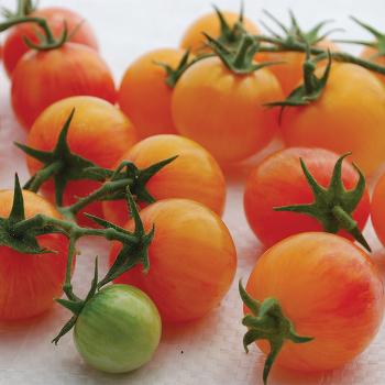 Tropical Sunset Tomato