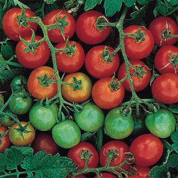 Tommy Toe Tomato