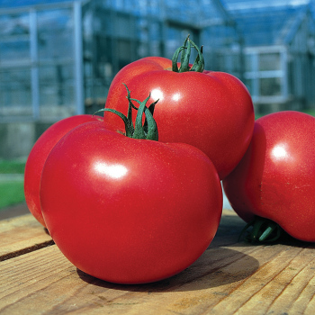 Tough Boy Hybrid Tomato