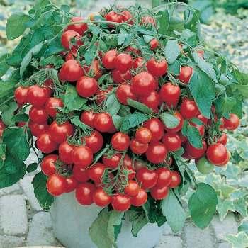 Tumbler Hybrid Tomato