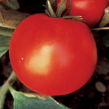 Wisconsin 55 Tomato