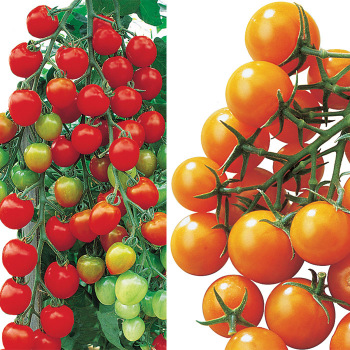 2nd Generation Tomato Collection