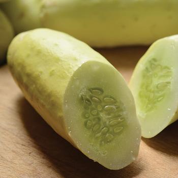 Martini Hybrid Cucumber