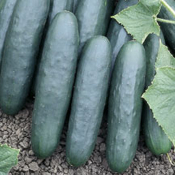Marketer Cucumber
