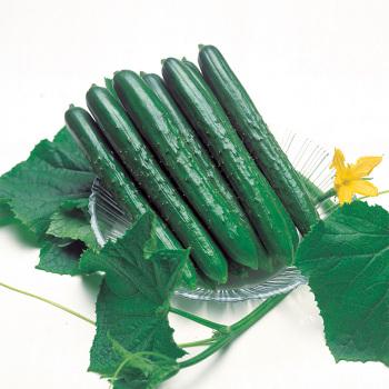 Summer Top Hybrid Cucumber