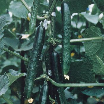 Tasty King Hybrid Cucumber