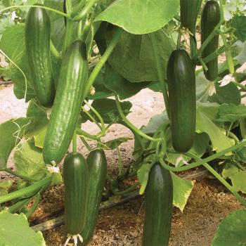 Manny Hybrid Cucumber