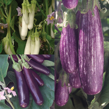 'egg'cellent Eggplant Collection