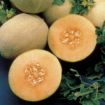 Ambrosia Hybrid Cantaloupe