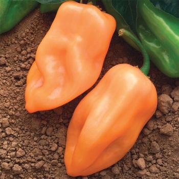 Burning Bush Hybrid Habanero Pepper