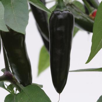 Chenzo Hybrid Pepper