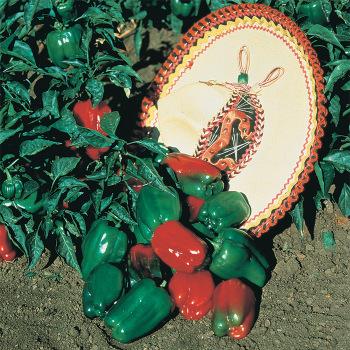 Mexibell Hybrid Pepper