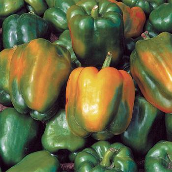 Quadrato Asti Giallo Pepper