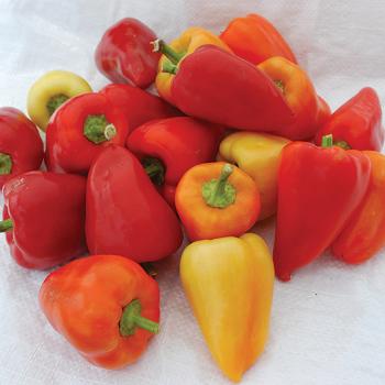 Red Belgian Pepper