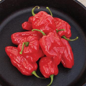 Roulette Hybrid Habanero Pepper