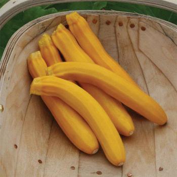 Buckingham Hybrid Zucchini