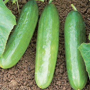 Cucumber Seeds