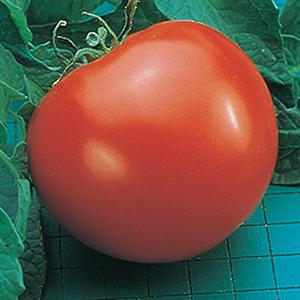Goliath Tomato Plants